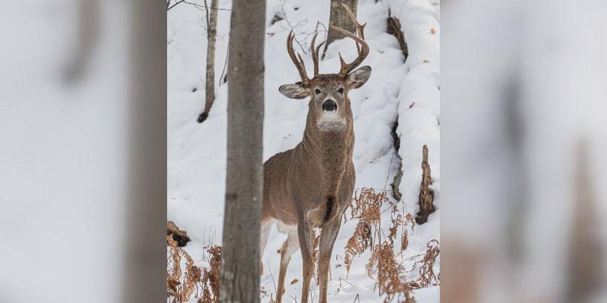 Photographer captures rare three-antler deer on camera
