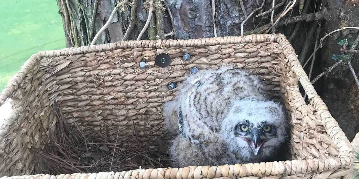 Horry Electric assists baby owl that fell from its nest