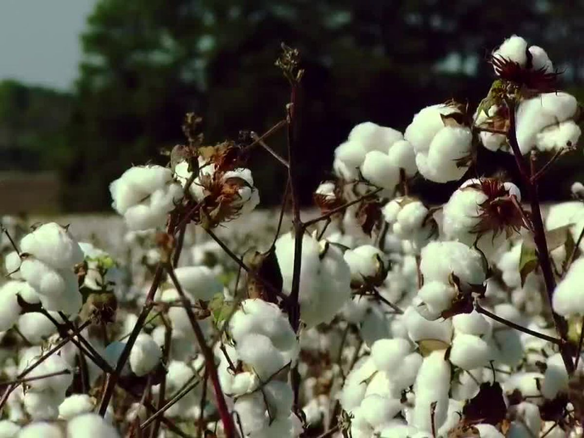 This is Carolina: Cotton keeps generations of farmers in business