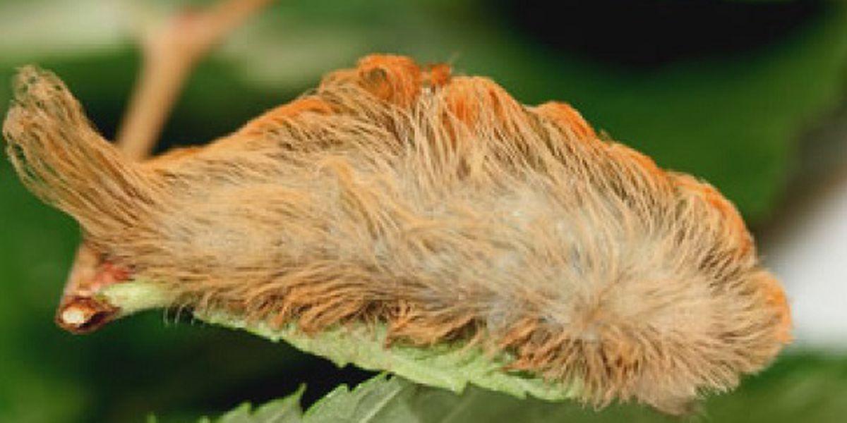 Doctors warn of venomous caterpillars as spring weather arrives