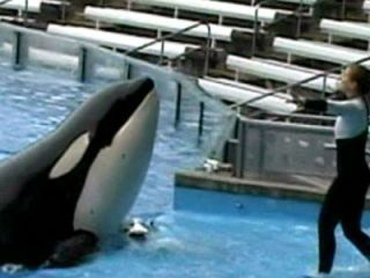Killer whale show returns to SeaWorld days after orca kills trainer