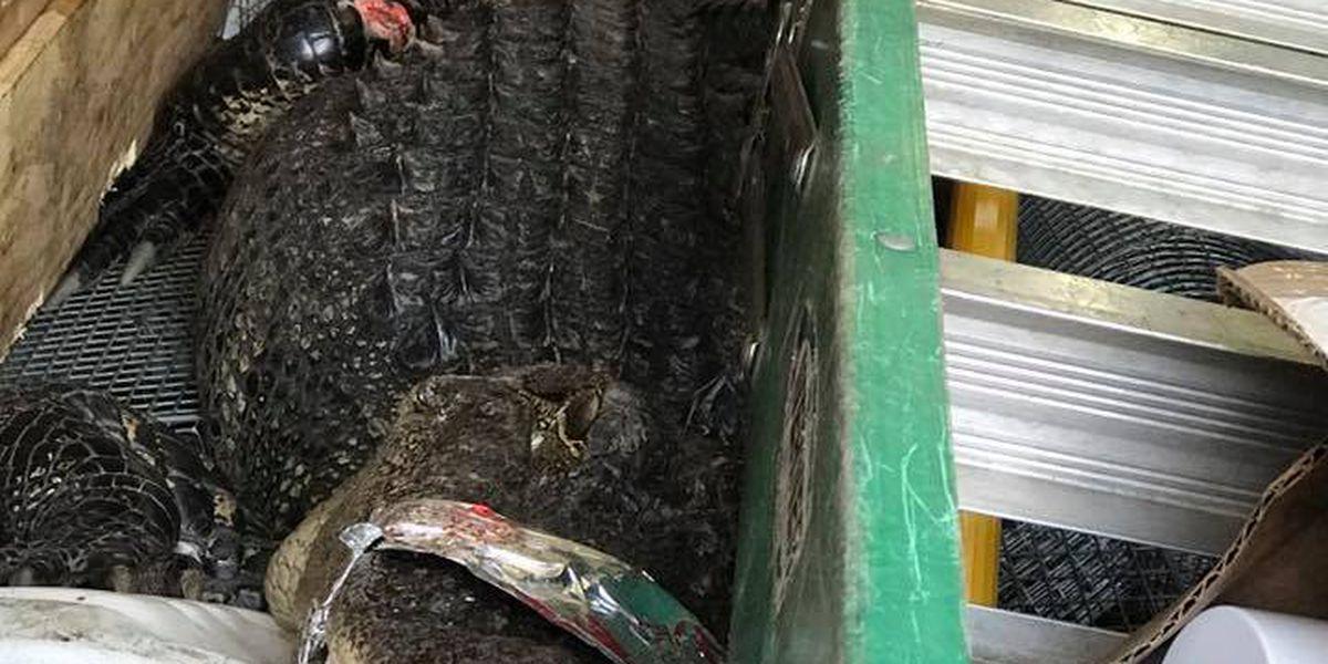 Alligator captured after killing pet dog in Murrells Inlet