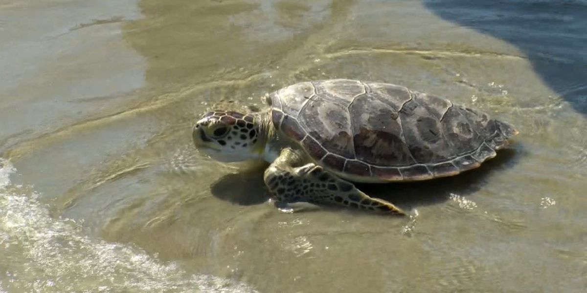 SCDNR reports the beginnings of sea turtle nesting season