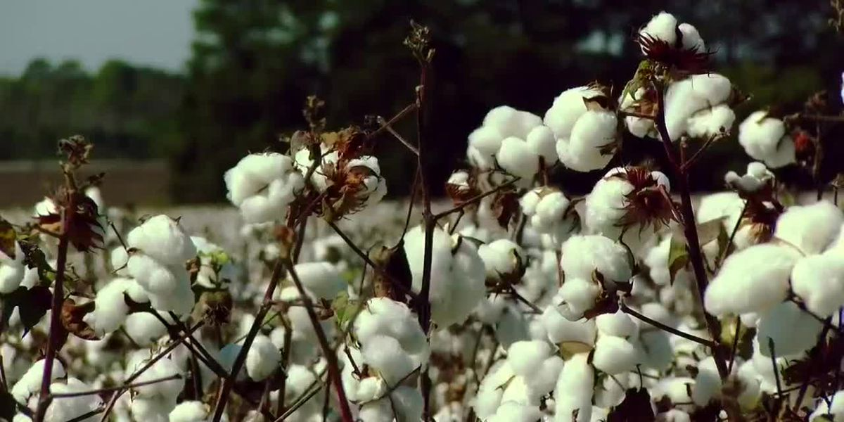 Cotton at the Woodards