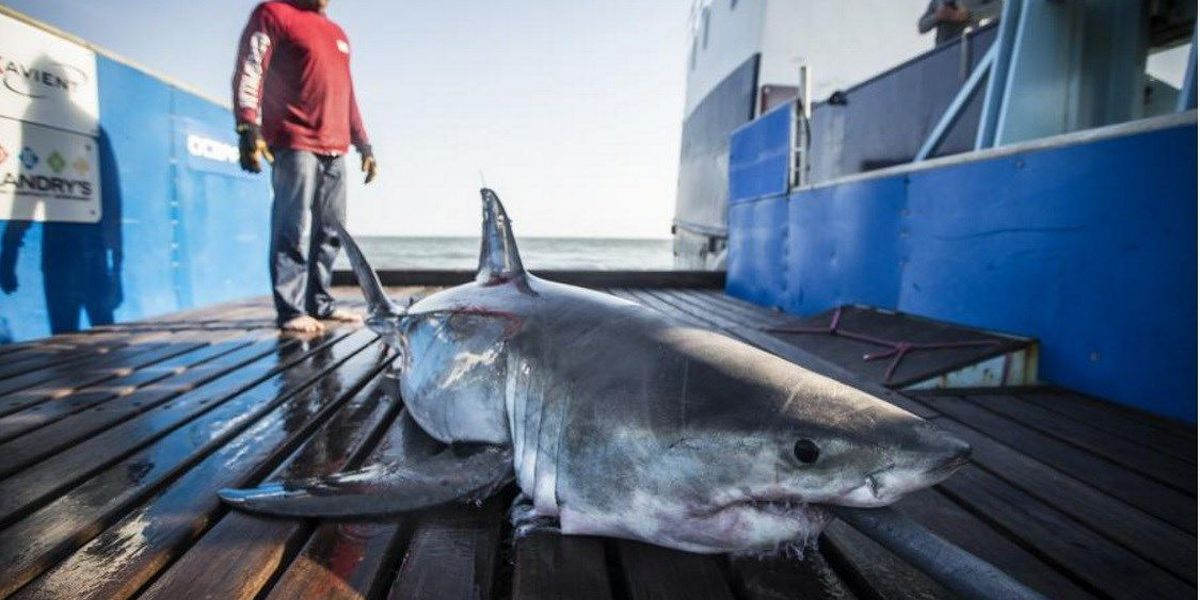 Savannah the Shark pings near Myrtle Beach
