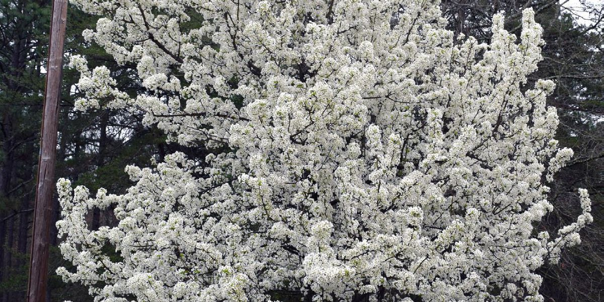 Bradford pear an invasive species that needs to be managed, Forestry Commission says
