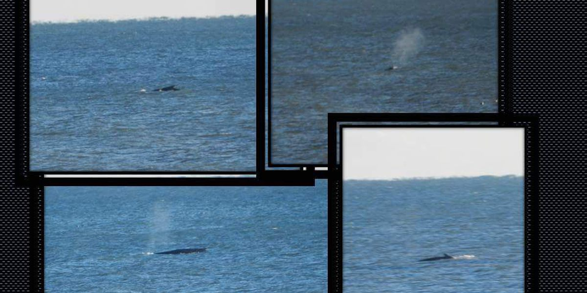 Whales spotted off Pawleys Island coast Sunday