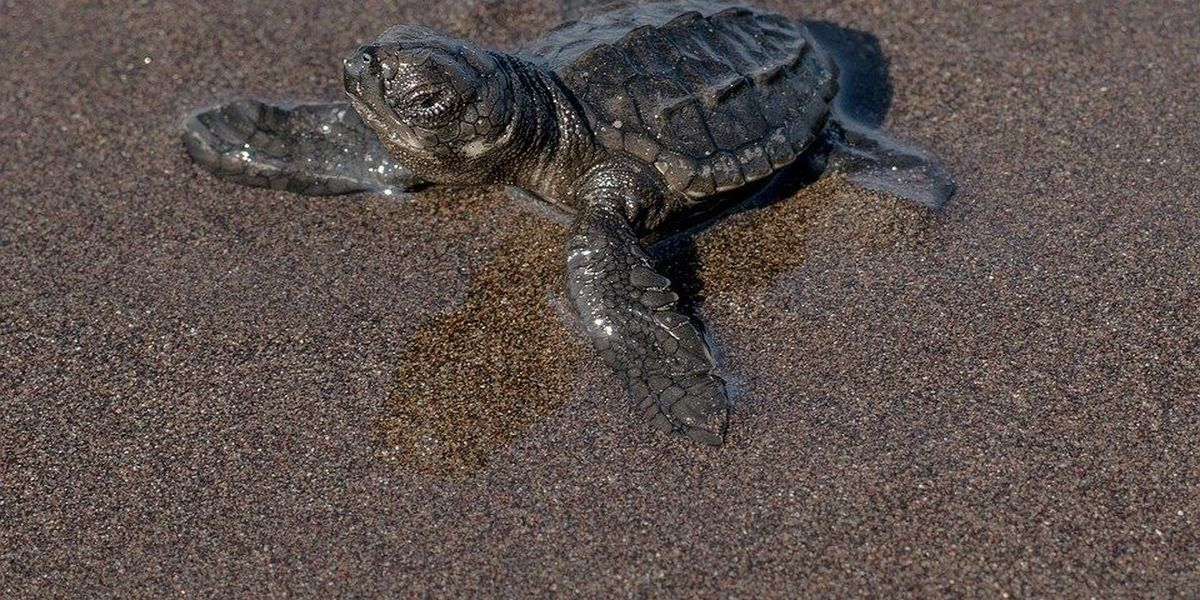 Federal grand jury indicts SC men for running illegal turtle smuggling operation