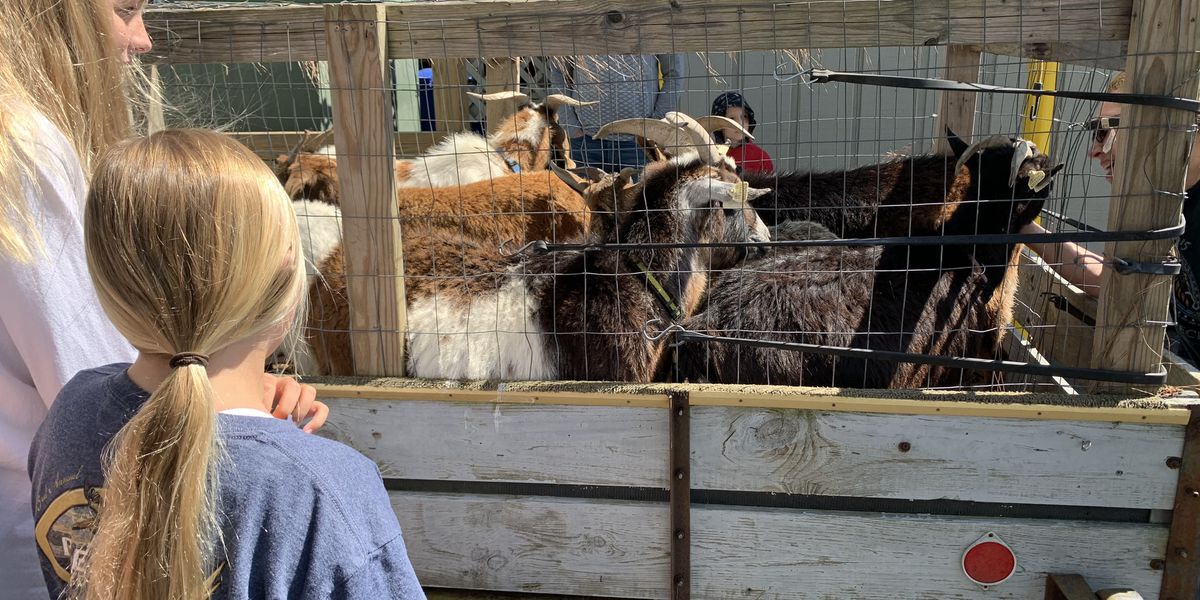 Murrells Inlet's famous goats secretly make their return to Goat Island