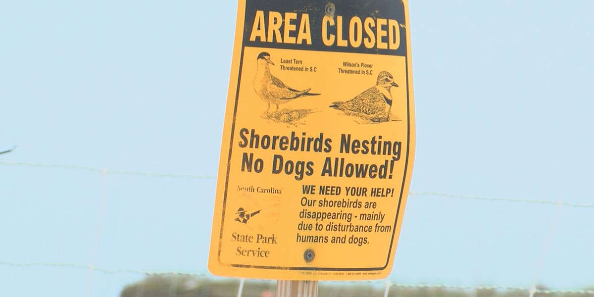 Shorebirds soar after Huntington Beach State Park's protection efforts