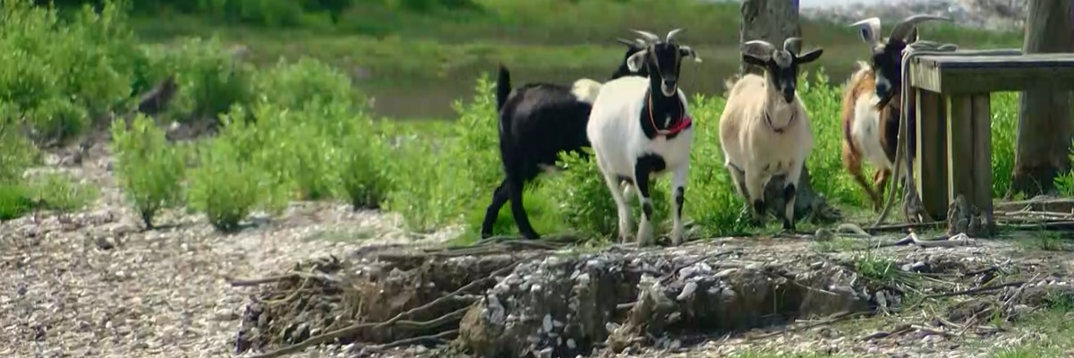 Famous inhabitants of Murrells Inlet's Goat Island make their return