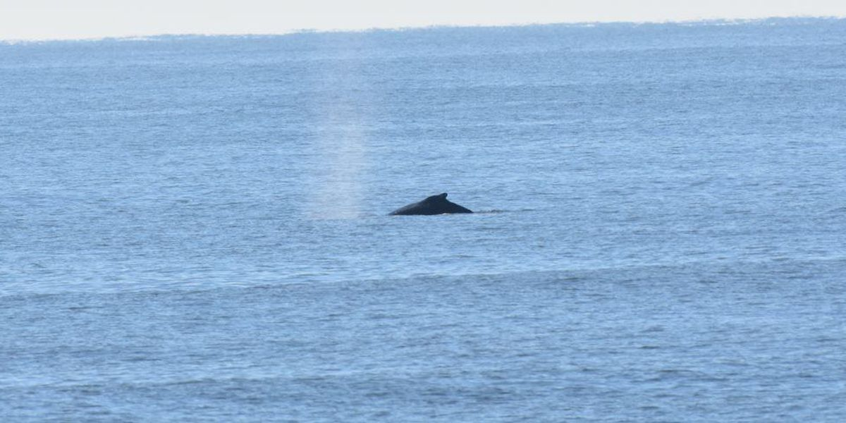 Humpback whales spotted from Myrtle Beach State Park pier