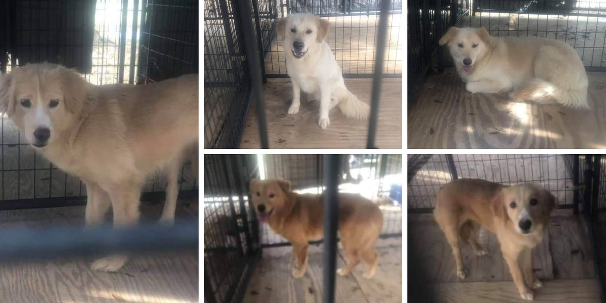 Golden retriever mixes rescued from hoarding situation are fearful, filthy, rescue says