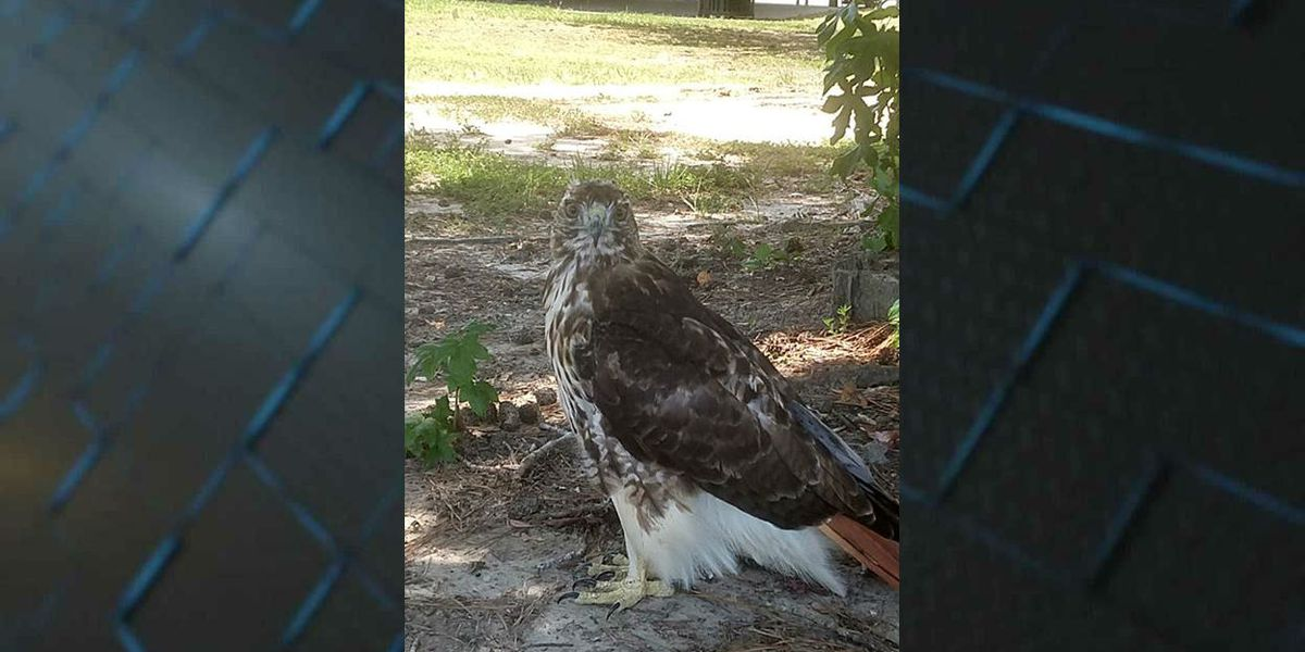 VIDEO: Man gets up close and personal with a hawk at The Market Common