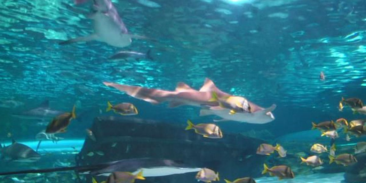 Conservation efforts for sand tiger sharks lead Ripley's team to artificial insemination