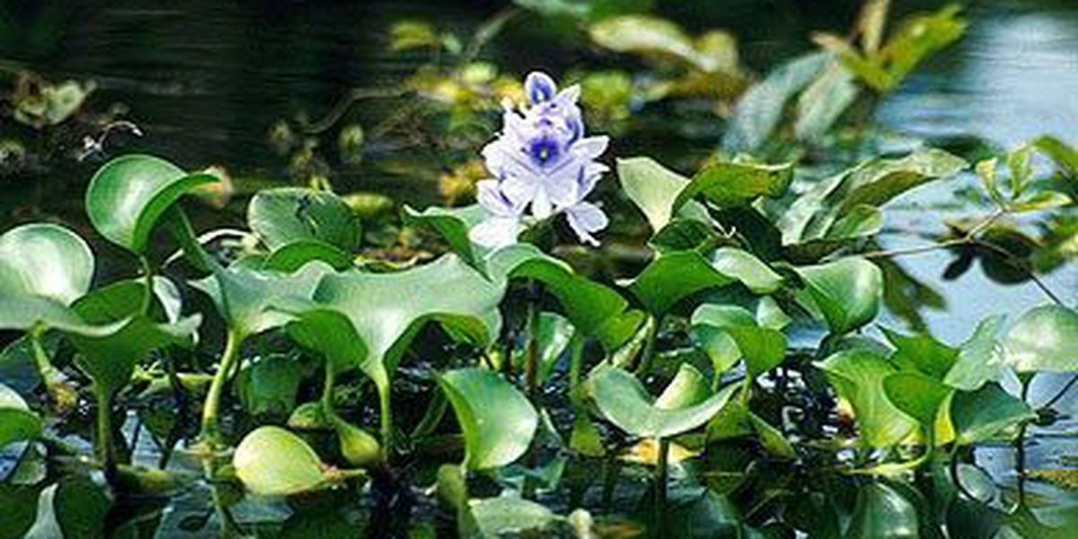 SCDNR treats Waccamaw River with herbicide to manage invasive species