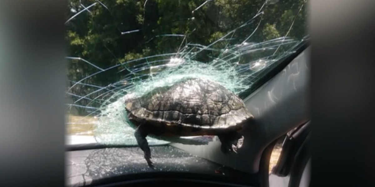 A Turtle smashed through a Georgia driver's windshield