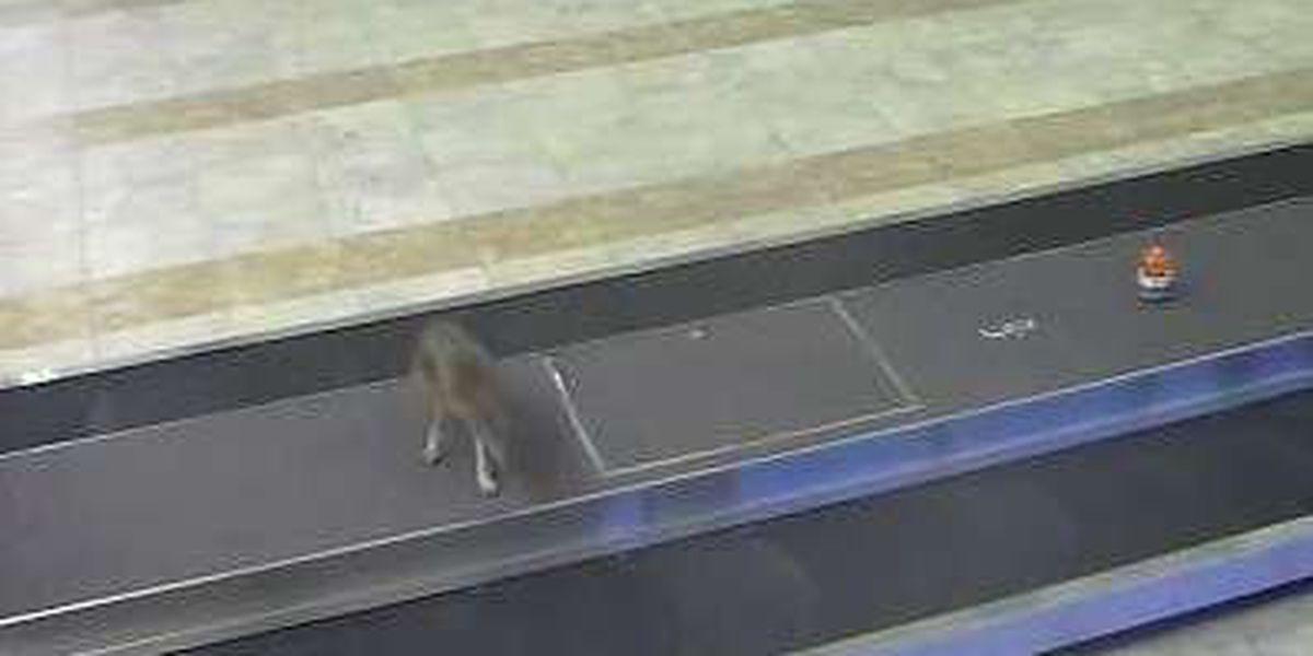 Coyote put down after running wild through Myrtle Beach Airport