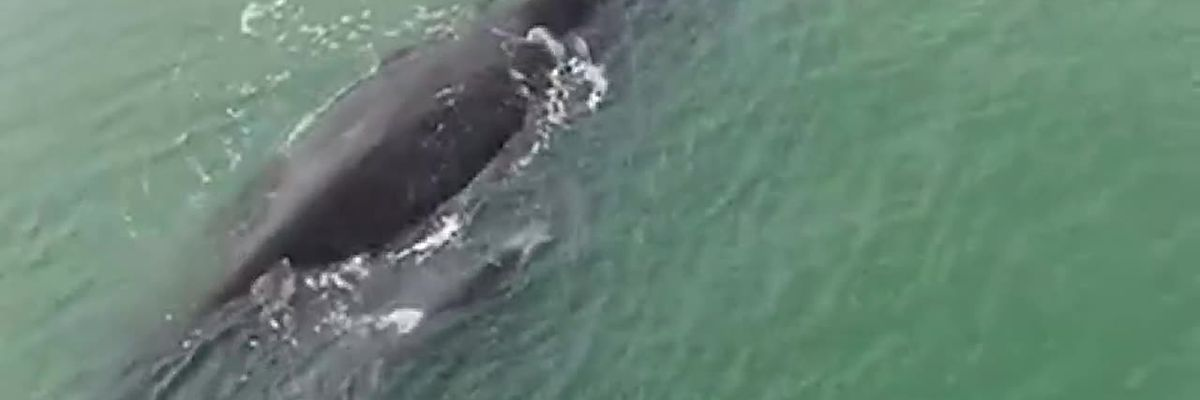RAW: Female whale, calf spotted in water near North Myrtle Beach