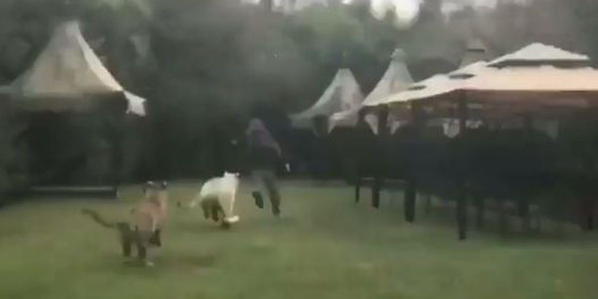 VIDEO: Tigers playfully chase trainer at Myrtle Beach Safari