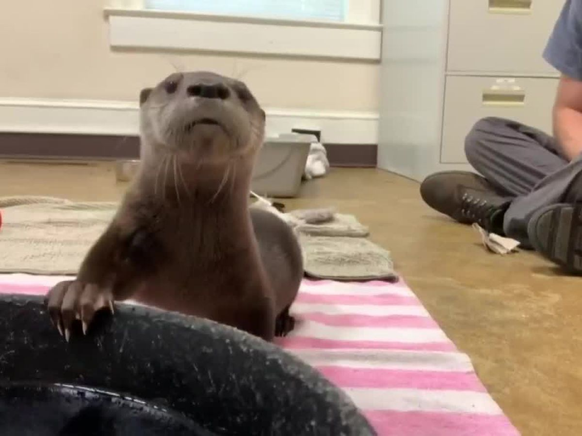 This is Carolina: Baby otter steals hearts after lucky rescue