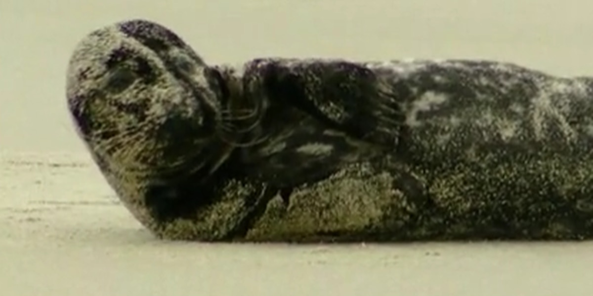 Gray seal makes a rare trip south, rests at Myrtle Beach State Park