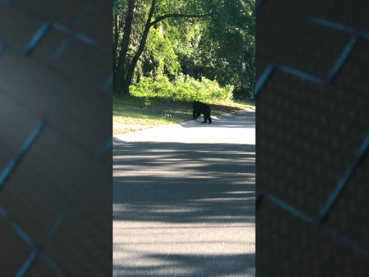 VIDEO: Black bear seen wandering through Pawleys Island neighborhood