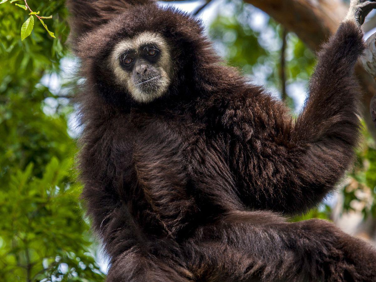 Aged gibbon dies unexpectedly at Santa Barbara Zoo