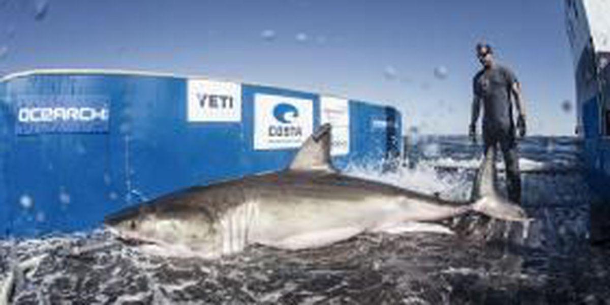 12.5 foot White Shark pinged off the North Carolina coast Sunday