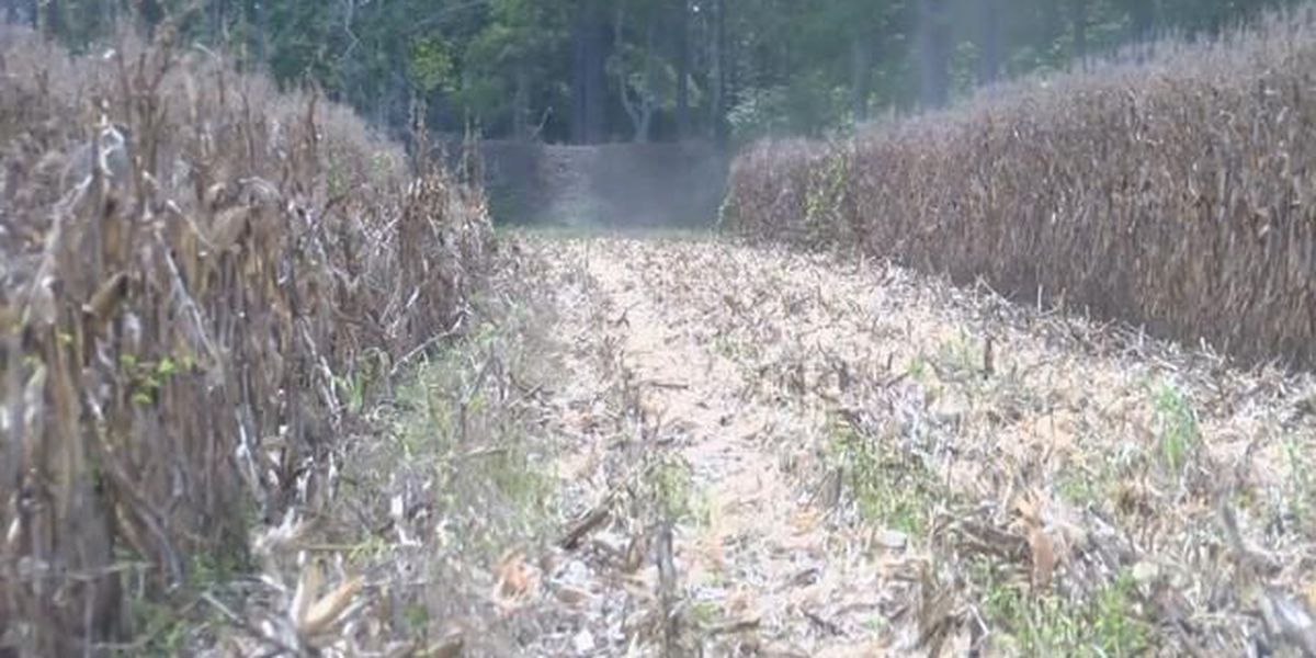 Crops are in critical shape for some farmers following summer drought