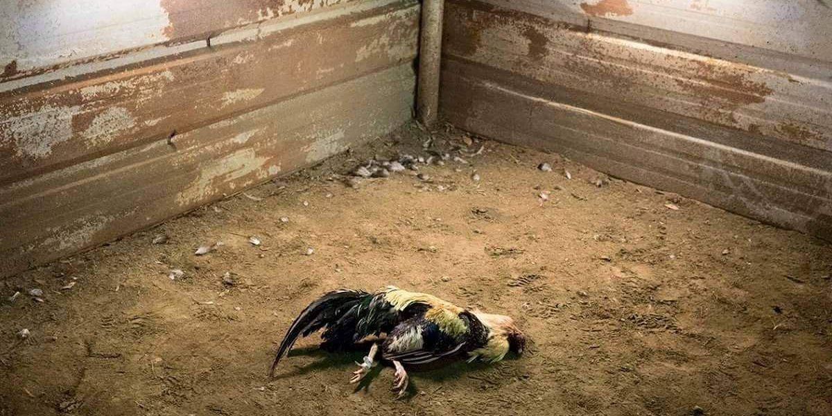 Cockfighting bust leads to rescue of over 100 birds, 27 arrests