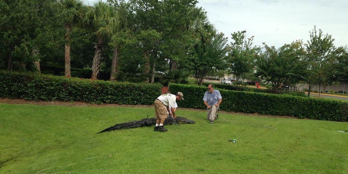 The Snake Chaser captures 10-foot alligator in Myrtle Beach