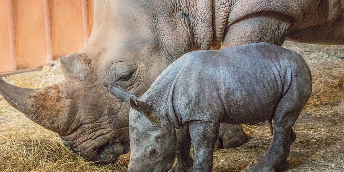 N.C. Zoo welcomes baby southern white rhino