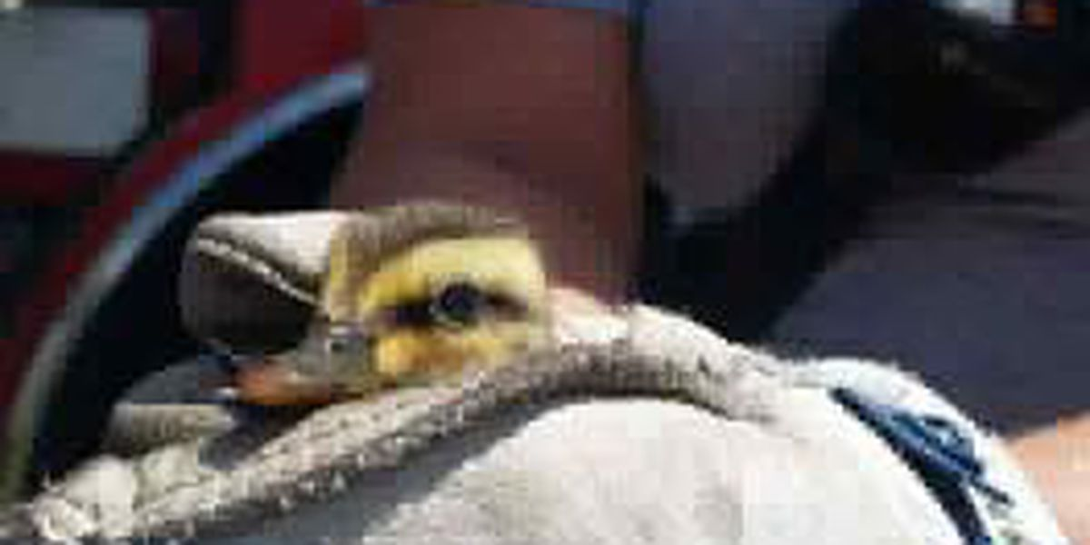 Horry County Fire Rescue crews called to rescue baby ducks from storm drain