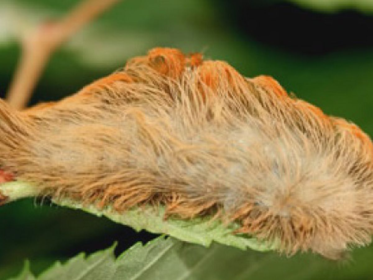 Doctors warn of venomous caterpillars as spring weather arrives