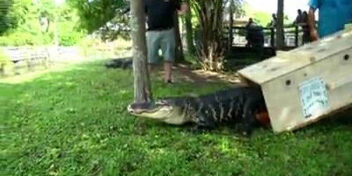Alligator Adventure assists with international alligator rescue