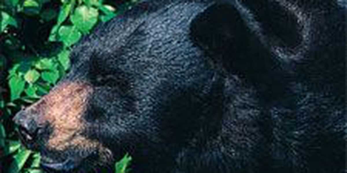 Bear population growing in Grand Strand, Pee Dee, measures show