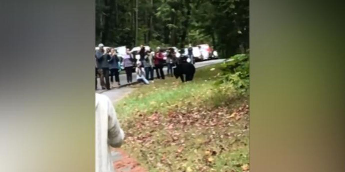 Group of people gets dangerously close to bear in the Smokies