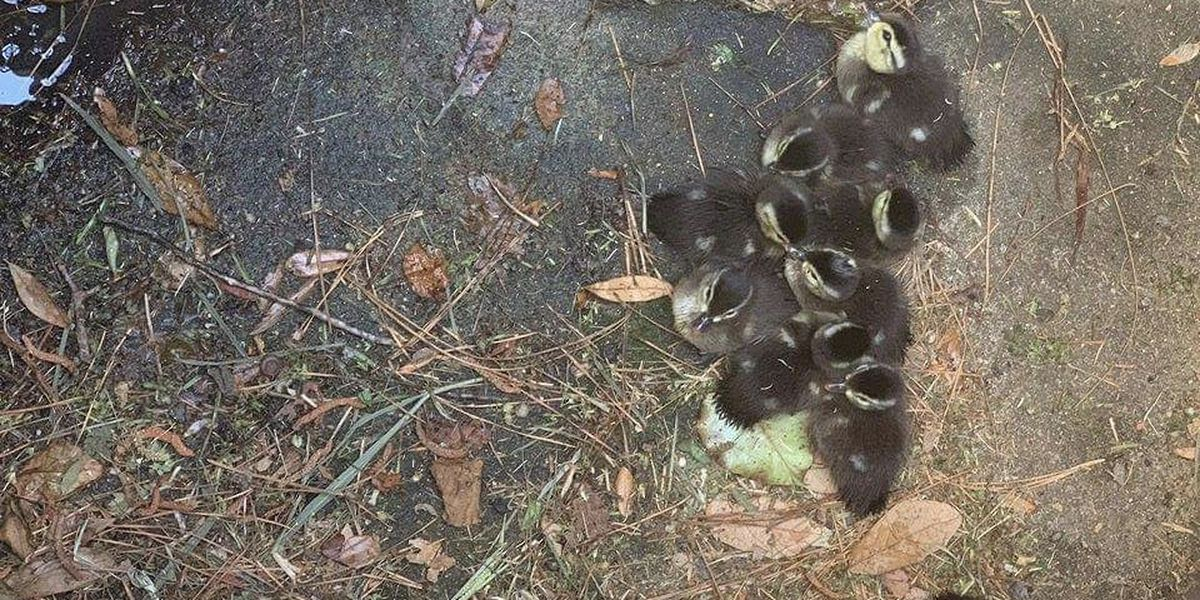Ducklings rescued from storm drain in Florence
