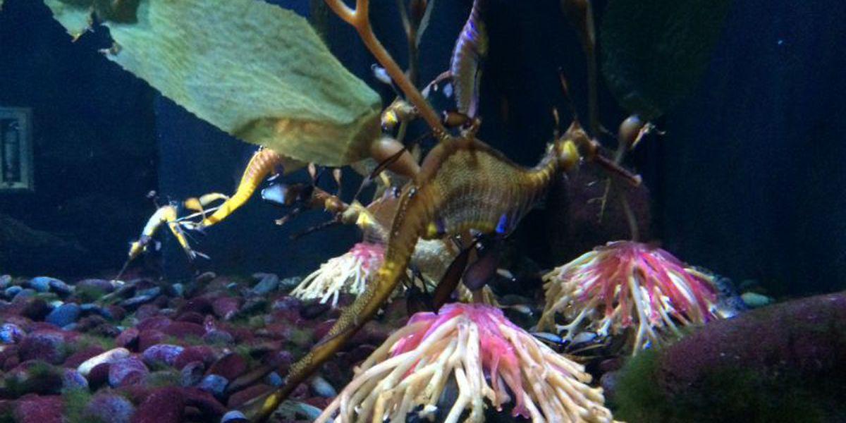 Ripley's Aquarium in Myrtle Beach welcomes rare species