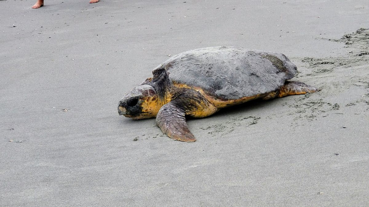 'Amazing to watch in person:' Video captures sea turtle nesting on Garden City beach