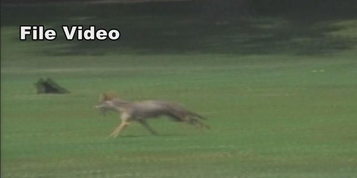 Coyote number spike causes worry across state; DNR launches coyote incentive in response