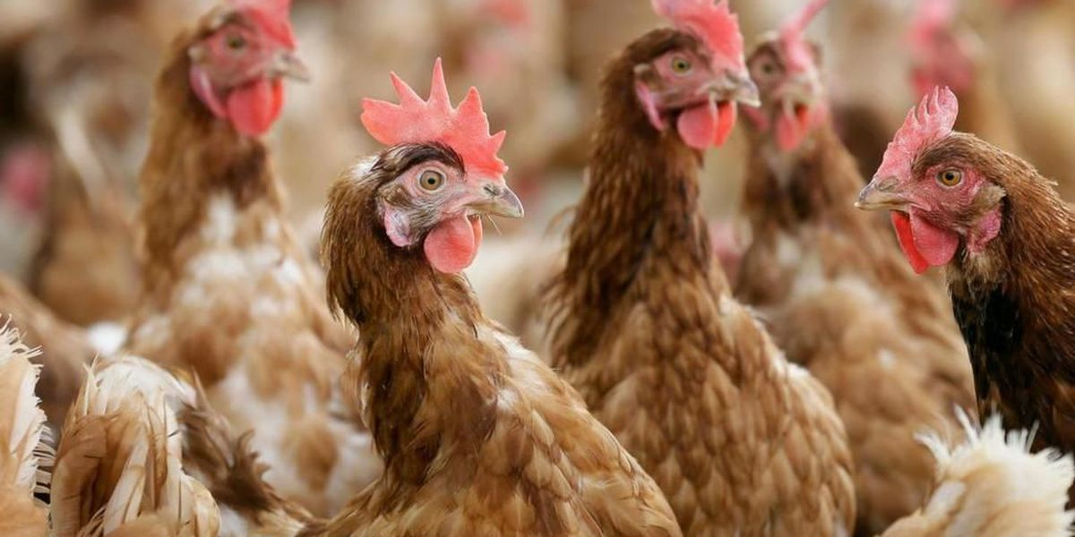 Second reading of motion pertaining to raising chickens at Horry County residences fails