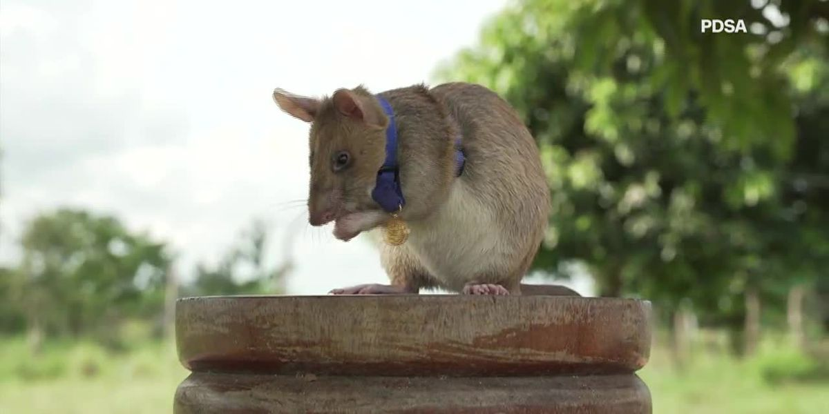 'Hero rat' wins gold medal for hunting landmines