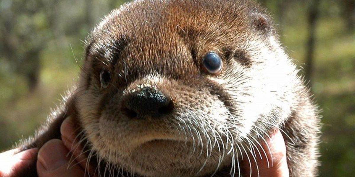 Brookgreen Gardens raising funds for specialty cages to transport otters