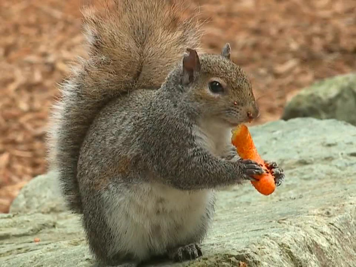 'Aggressive' squirrel addicted to cheese-flavored snacks at Seattle park