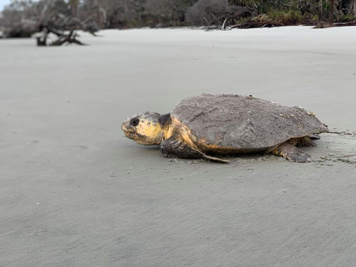 Four sea turtle protection cages destroyed in North Myrtle Beach