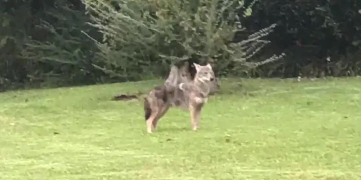Proposed SC bill looks to put bounty on coyotes