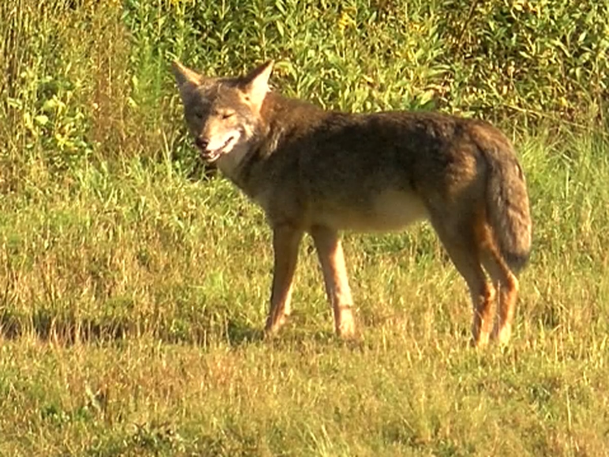 Myrtle Beach creates website for neighbors to report coyote sightings