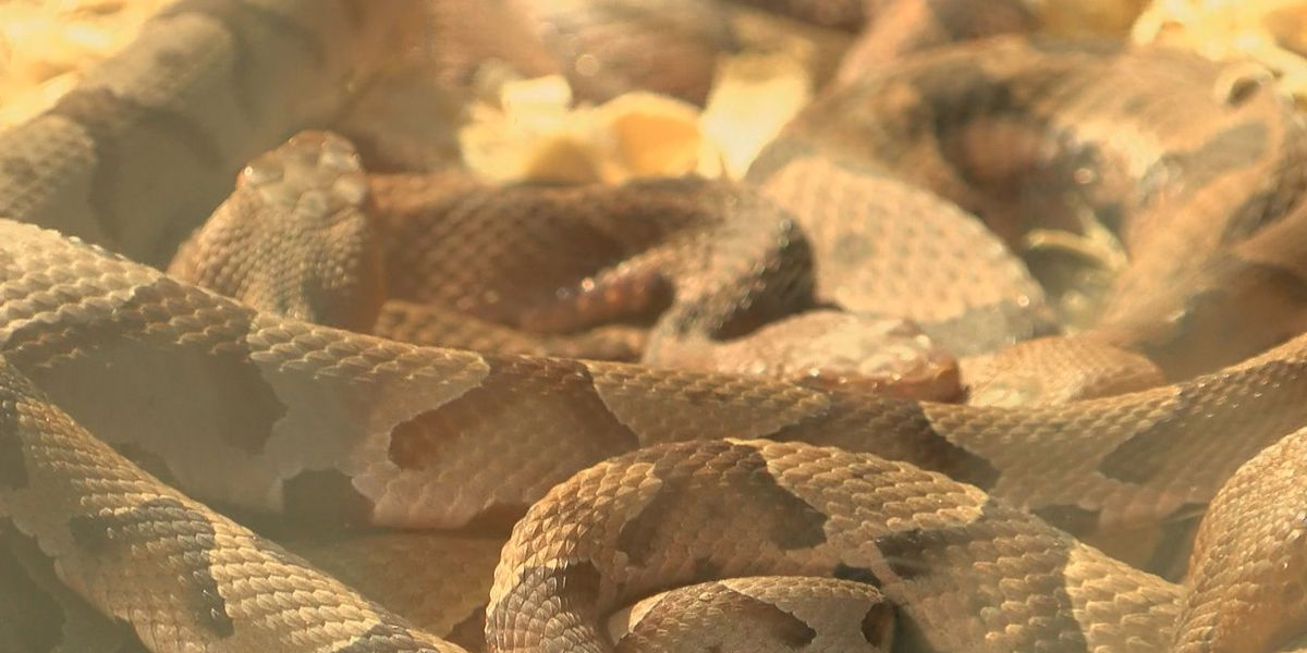 Copperhead season off to a slow start, but calls are starting to pick up